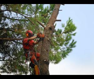 potatura-tree-climbing